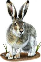 white_tailed_jackrabbit