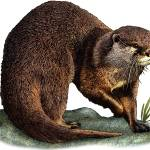 """""""Asian or Oriental Small-Clawed Otter"""" by inkart"""