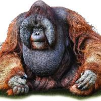 Bornean Orangutan Art Prints & Posters by Roger Hall