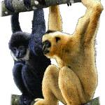 """Black-Crested Gibbons"" by inkart"