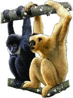 Black-Crested Gibbons