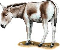 Mongolian Wild Ass or Donkey