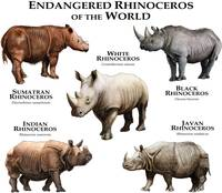 Endangered Rhinoceros of the World