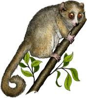 Gray Mouse Lemur