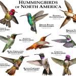 """Hummingbirds of North America"" by inkart"