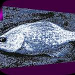 """CRAPPIE-A-PEEL"" by dittywriter"