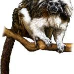 """Cotton-Top Tamarin"" by inkart"
