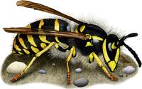Common Yellowjacket Wasp