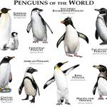 """Penguins of the World"" by inkart"