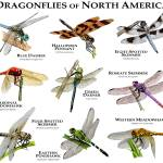 """Dragonflies of North America"" by inkart"
