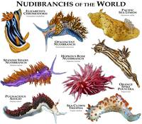 Nudibranches of the World