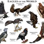 """Eagles of the World"" by inkart"