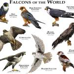 """Falcons of the World"" by inkart"