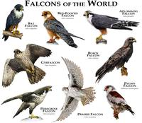 Falcons of the World