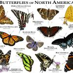 """Butterflies of North America"" by inkart"
