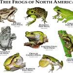 """Tree Frogs of North America"" by inkart"