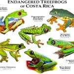 """Endangered Treefrogs of Costa Rica"" by inkart"