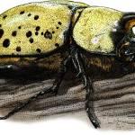"""""""Eastern Hercules Beetle"""" by inkart"""