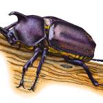 """""""Japanese Rhinoceros Beetle"""" by inkart"""