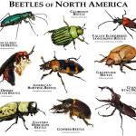 """""""Beetles of North American"""" by inkart"""
