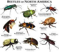 Beetles of North American