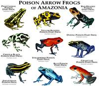 Poison Dart Frogs of Amazonia