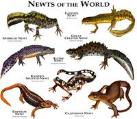 Newts of the World
