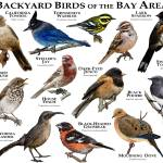 """Backyard Birds of the Bay Area"" by inkart"