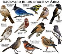 Backyard Birds of the Bay Area