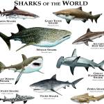 """""""Sharks of the World"""" by inkart"""
