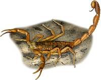 Striped Bark Scorpion