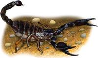 Common Black Scorpion