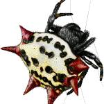 """Spiny-Backed Orb Weaver Spider"" by inkart"