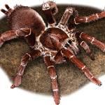 """""""King Baboon Tarantula"""" by inkart"""