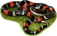 Eastern Ribbon Coral Snake