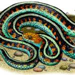 """California Red-Sided Garter Snake"" by inkart"