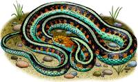 California Red-Sided Garter Snake