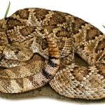"""""""Mojave  Rattlesnake"""" by inkart"""