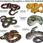 """Venomous Snakes of South America"" by inkart"
