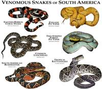 Venomous Snakes of South America