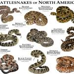 """Rattlesnakes of North America"" by inkart"