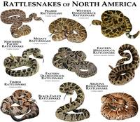 Rattlesnakes of North America