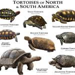 """Tortoises of North and South America"" by inkart"