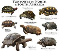 Tortoises of North and South America