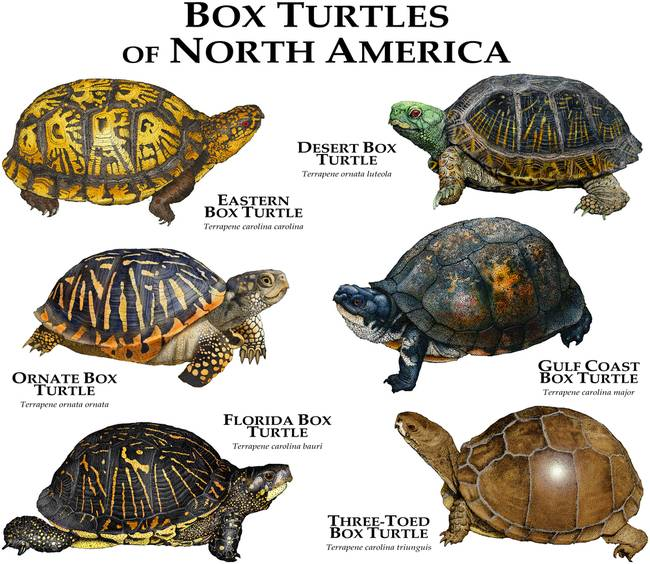 "Kitchen Art Of North Florida: Stunning ""Gulf Coast Box Turtle"" Artwork For Sale On Fine"