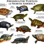 """Freshwater Turtles of North America"" by inkart"