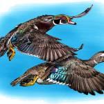 """Wood Ducks"" by inkart"