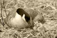 Canada Goose and Two Goslings
