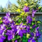 """Solina Clematis on Fence"" by susansartgallery"