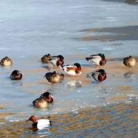 Ducks frozen pond close up March 2015 Art Prints & Posters by Lawrence Johnson